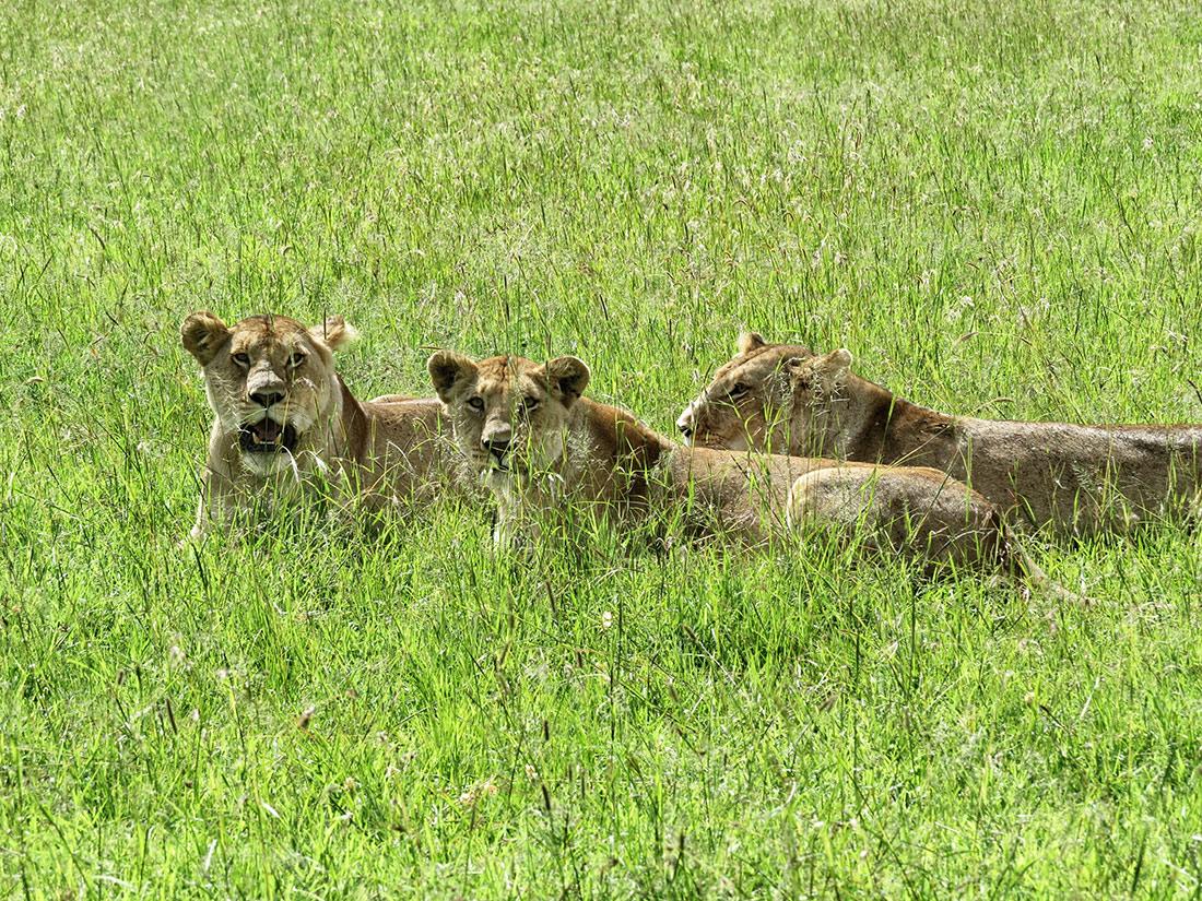 leones en tanzania