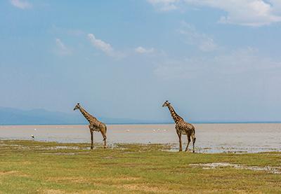 Tanzania Lago Manyara giraffe-4032280_1920