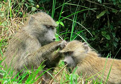 tanzania parque arusha ape-2905604_1920